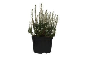 Горшочное растение Вереск Микс 15 Уличное