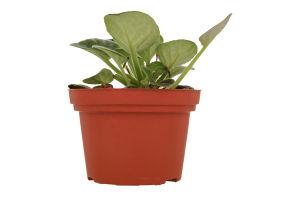 Горшочное растение Фиалка