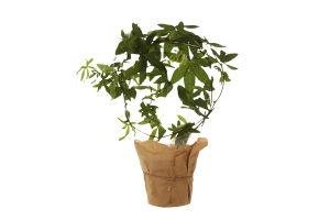 Горшочное растение Пасифлора50Цветущее