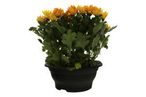 Горш Раст Хризантема35-40 цветущее Камелия-К