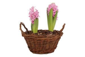 Горшечное Растение Гиацинт
