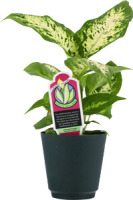 Pure Green Dieffenbachia Foliage