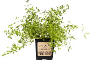 Shenandoah Growers Thyme