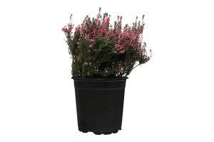 Горшочное растение Вереск Микс 40 Уличное